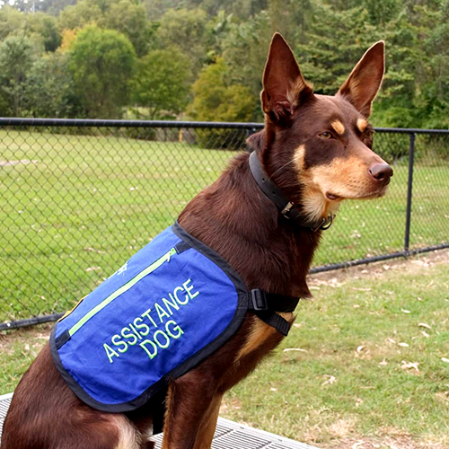 assistance dog with embroidered vest